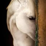 Timiditatea la cai