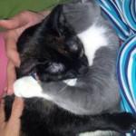 Pisica pletorică – text pentru colerici