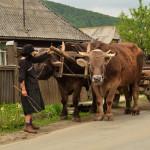 Cu boii în Rai